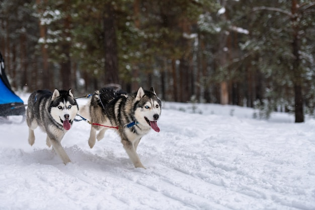 そり犬のレース。ハスキーそり犬のチームは、ハーネスを実行し、犬のドライバーを引っ張ります。冬のスポーツ選手権大会。