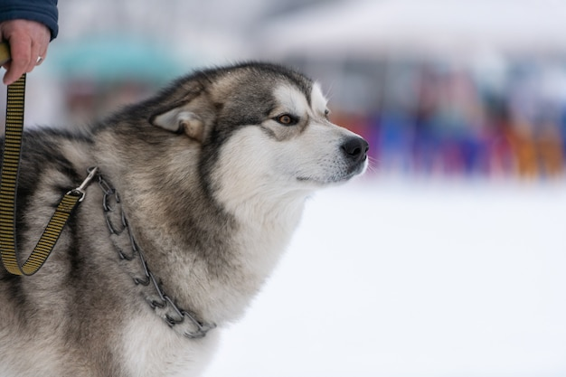 ハスキー犬の肖像画、雪に覆われた冬。そり犬の訓練の前に歩いて面白いペット。