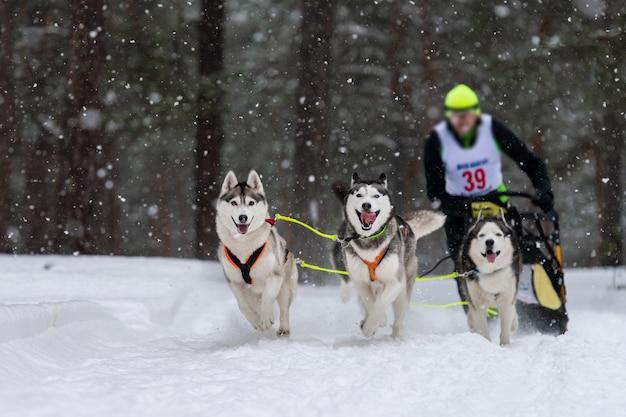 そり犬のレース。ハスキーそり犬チームは、犬のドライバーでそりを引っ張ります。冬の競争。