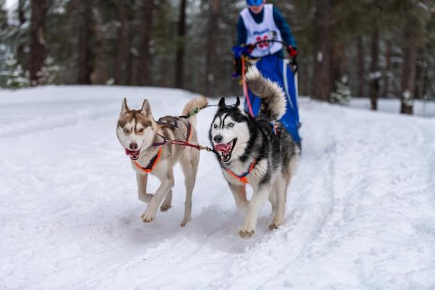 そり犬のレース。ハスキーそり犬のチームは、ハーネスを実行し、犬のドライバーを引っ張ります。冬季スポーツ選手権大会。