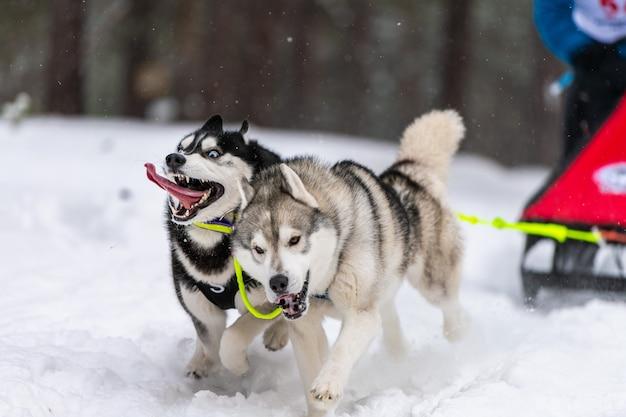 ハスキーそり犬のチームは、ハーネスを実行し、犬のドライバーを引っ張ります。そり犬のレース。冬季スポーツ選手権大会。