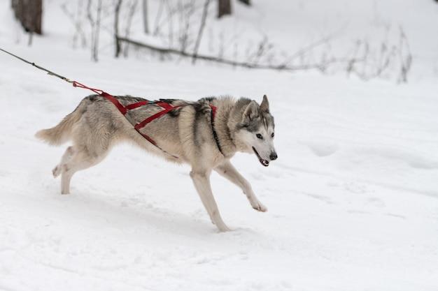 そり犬のレース。ハスキーそり犬のチームはハーネスを実行し、犬のドライバーを引っ張ります。冬のスポーツ選手権大会。
