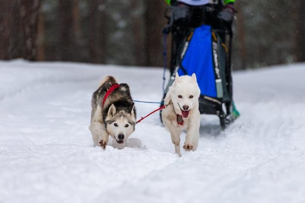 Хаски собачьих упряжек в упряжке бегут и тянут собаку водителю.