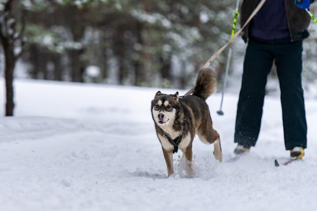 Ездовая собака скиджоринг. хаски на собачьих упряжках. соревнования по спортивному первенству.