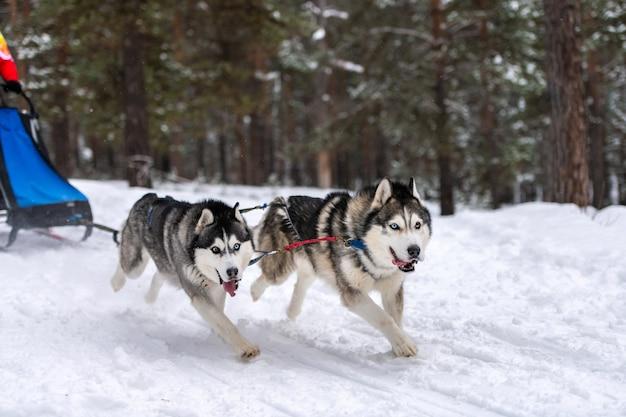 Гонки на собачьих упряжках. хаски собачьих упряжек в упряжке бегут и тянут собаку водителю. соревнования по первенству зимнего спорта.