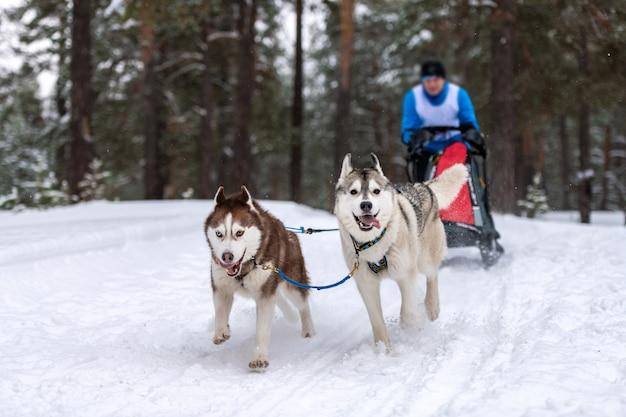 Гонки на собачьих упряжках. хаски на собачьих упряжках упряжка с собачьей упряжкой. зимние соревнования.