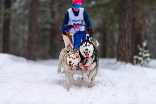 Хаски собачьих упряжек в упряжке бегут и тянут собаку водителю. гонки на собачьих упряжках. соревнования по первенству зимнего спорта.