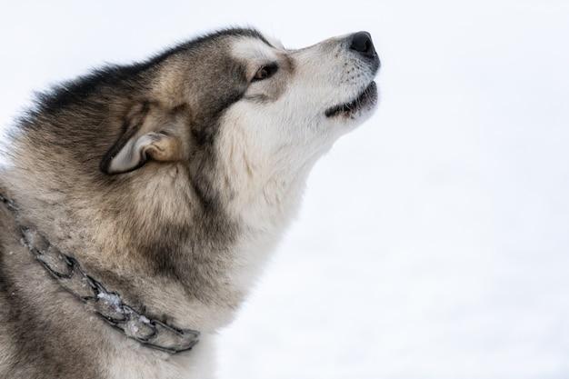 Хриплая собака воет и лает, забавный питомец. забавный питомец на прогулке перед ездой на собачьих упряжках.