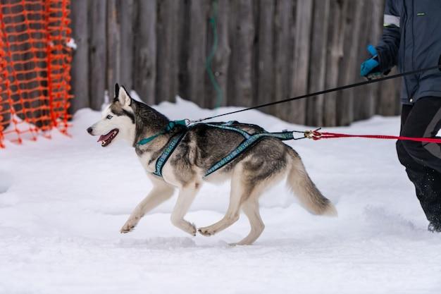 Гонки на собачьих упряжках. хаски собачьих упряжек в упряжке бегут и тянут собаку водителю. соревнования на первенство по зимнему спорту.