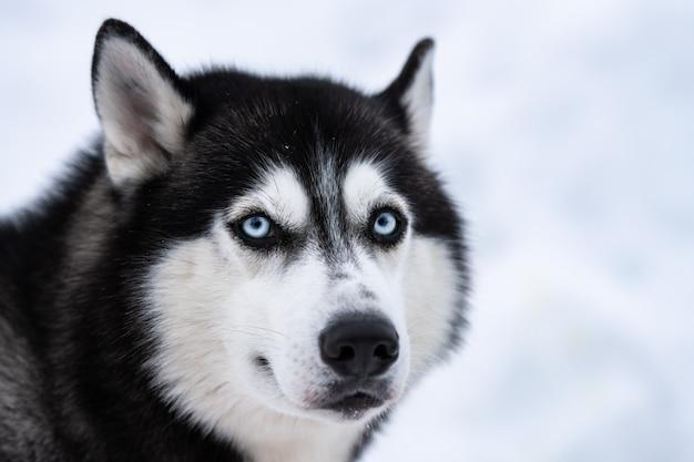 Портрет хаски, зима снежная. забавный питомец на прогулке перед ездой на собачьих упряжках.