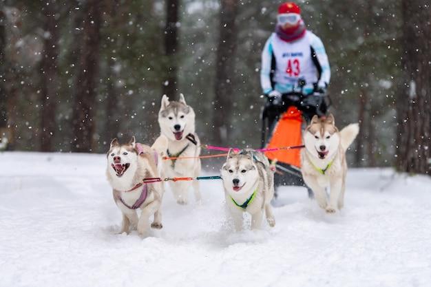 Гонки на собачьих упряжках. хаски на собачьих упряжках упряжка с собакой-водителем зимние соревнования.