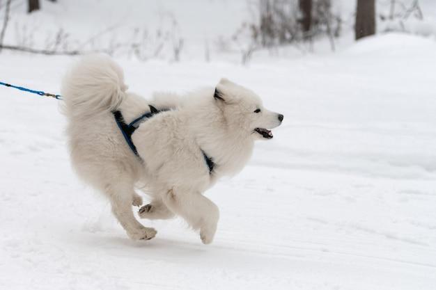 Гонки на собачьих упряжках. самоедская собачка в упряжке бегает и дергает собаку водителя. соревнования на первенство по зимнему спорту.