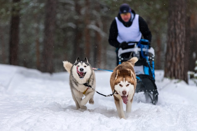 Гонки на собачьих упряжках. хаски на собачьих упряжках команда тянет сани с собакой-водителем. зимние соревнования.