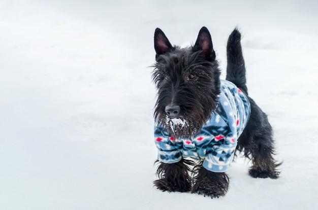 ヨークシャーテリアの小さな犬、雪に覆われたコピースペース。スーツの小さい、かわいい犬。ペット所有者のケア