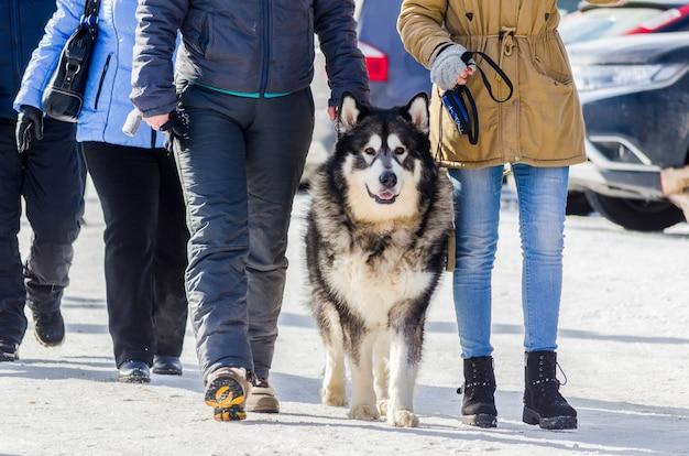 オーナーと一緒に屋外で歩くアラスカのマラミュート犬。寒い雪の天候でそり犬のレースフェスティバル。