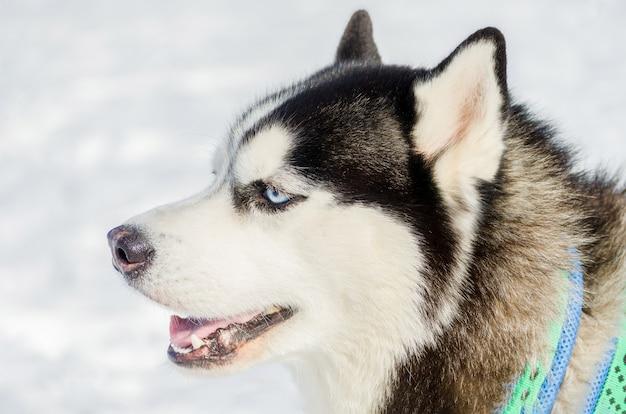 Конец собаки сибирской лайки вверх по внешнему портрету стороны. гонки на собачьих упряжках в холодную погоду. сильная, милая и быстрая породистая собака для совместной работы с санями.