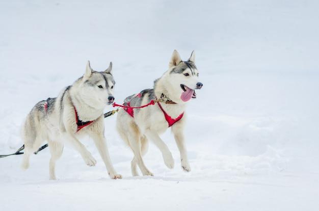 そり犬レース競争。シベリアンハスキー犬のハーネス。寒い冬のロシアの森でのそり選手権大会。