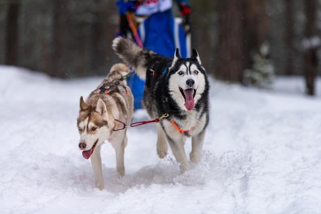 ハスキーそり犬のチームは、ハーネスを実行し、犬のドライバーを引っ張ります。そり犬のレース。冬のスポーツ選手権大会。