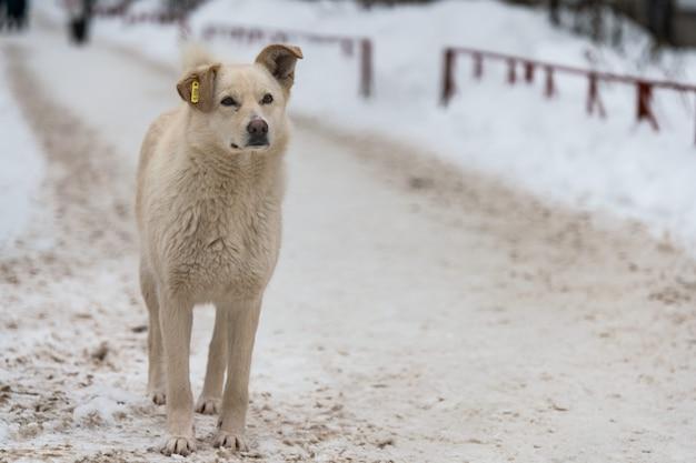 Бездомная собака с обломоком в ухе на дороге зимы. непородная хорошая добрая собачка.