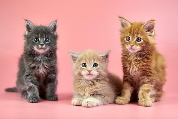 メインクーンの子猫