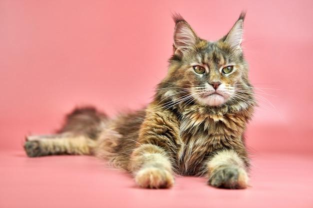 メインクーンべっ甲猫、コピースペース