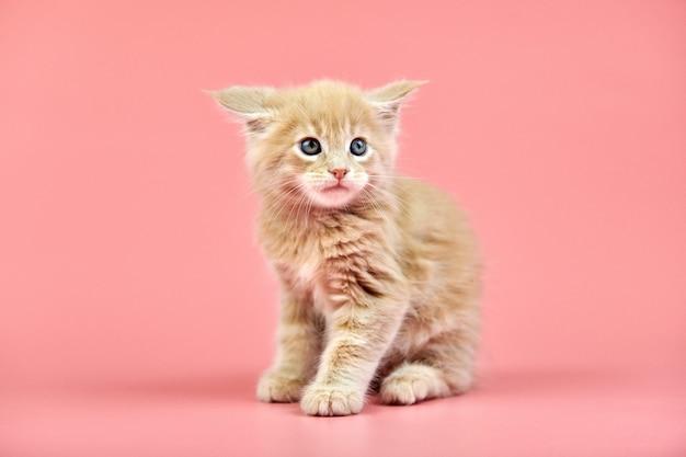 Кремовый котенок мейн кун