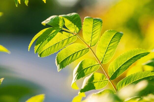 ナナカマドの枝に緑の葉とコピースペース。