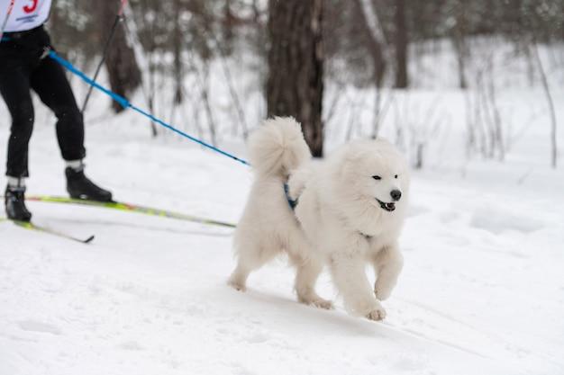 Самоедская собачка в упряжке бегает и дергает человека