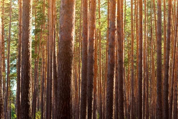 夏の密な松林。木々の間からの日差し。