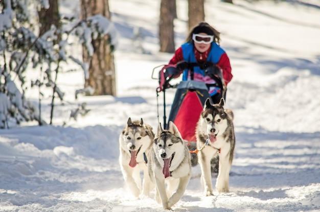 犬ぞりレース。女性マッシャーとハスキーそり犬チーム