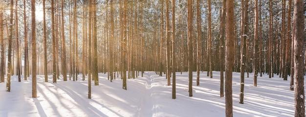 太陽の光と冬の森のパノラマ