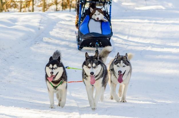 ハーネスの面白いシベリアンハスキー犬。そり犬レース競争。寒い冬の森でのそり選手権チャレンジ