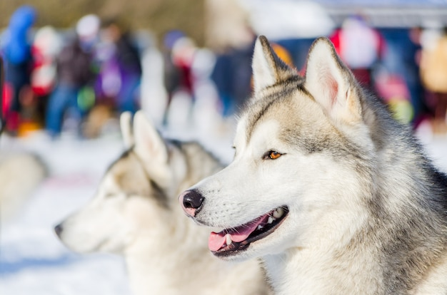 シベリアンハスキー犬を屋外の顔の肖像画を閉じる