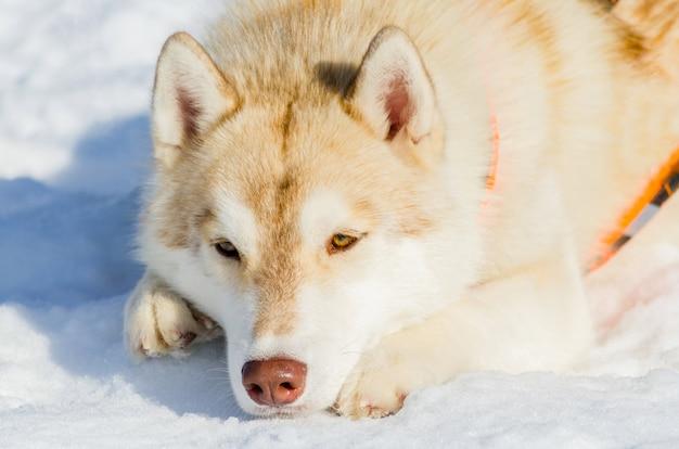 雪の上に横たわるシベリアンハスキー犬。屋外の顔の肖像画を閉じます。そり犬は、寒い雪の天候でトレーニングを競います。そりとチームワークするための、強くてかわいい、速い純血種の犬。