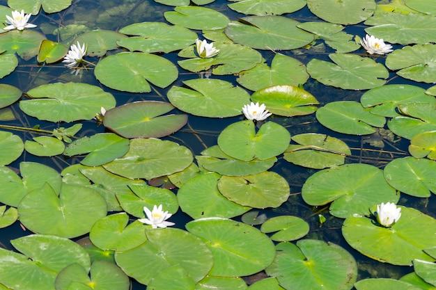 川のスイレンの花。