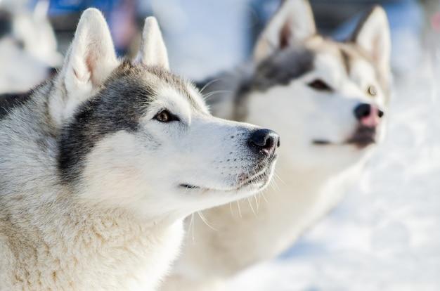 シベリアンハスキー犬の屋外