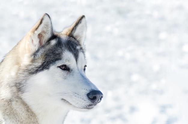 シベリアンハスキー犬の顔の肖像画