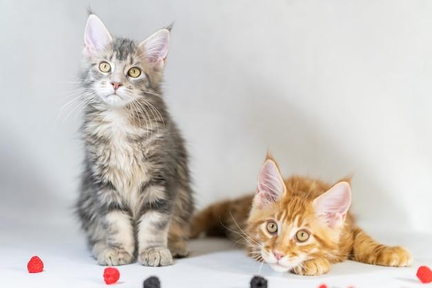 メインクーンの子猫、赤と黒のかわいい猫。最大かつ美しい猫の品種。白い
