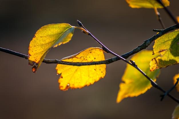 秋秋に木の枝に黄色の葉。日差しの中で黄色のカバノキの葉。