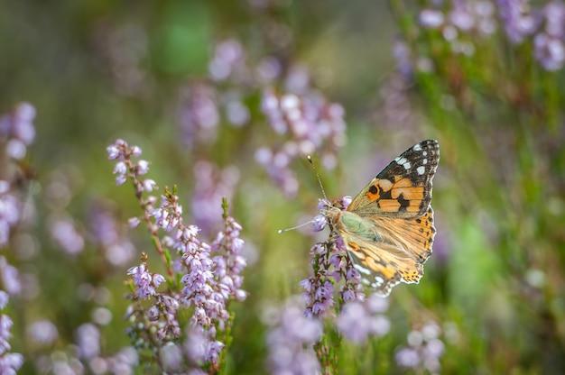 ピンクの一般的なヘザーの美しいオレンジ色の蝶
