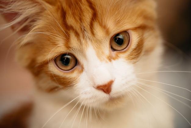 Портрет милый рыжий котенок