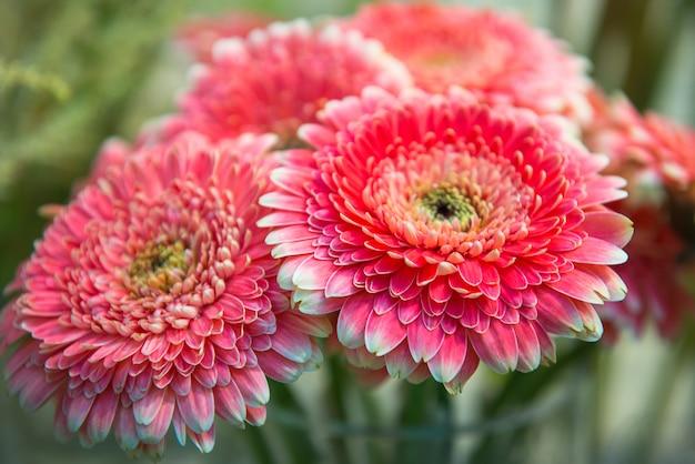 ピンクの菊の花束をクローズアップ、セレクティブフォーカス。