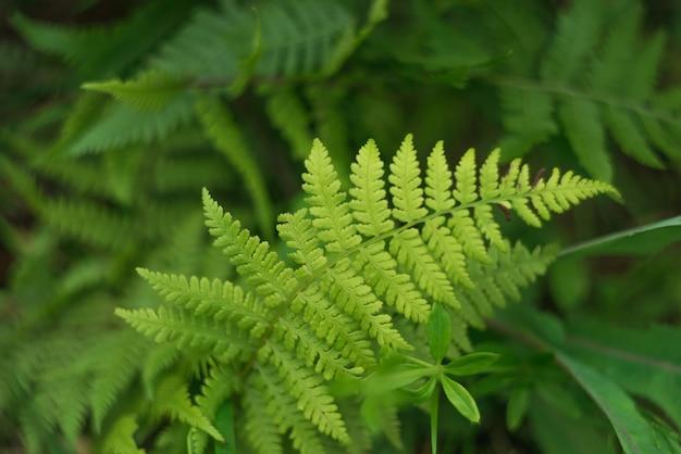 森林緑の背景に林シダの成長。自然のテーマ