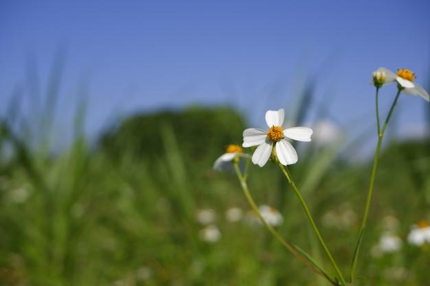 Белые ромашки расцветают в природе
