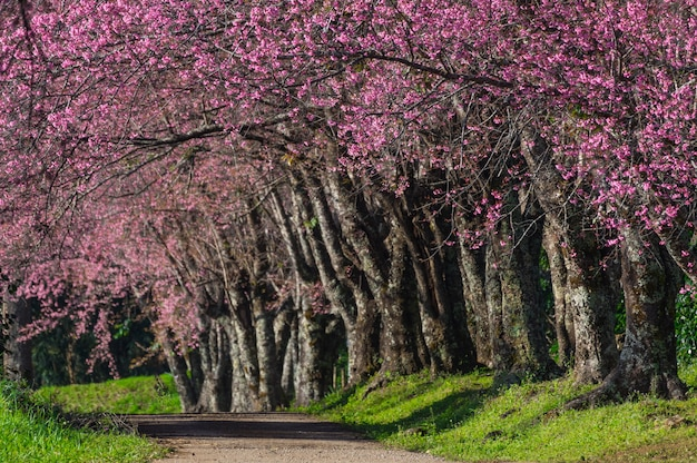 道沿いの桜の木は美しいピンク色の開花道。