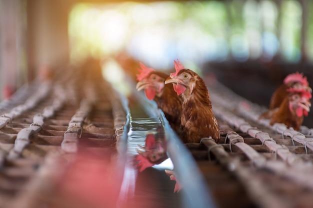 鶏と卵農場で鶏。