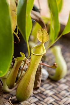 Тропический кувшин или обезьяна чашки растений.