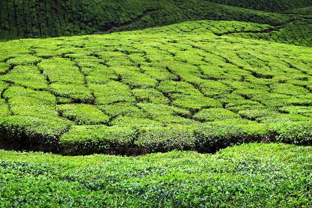ムンナールの茶園