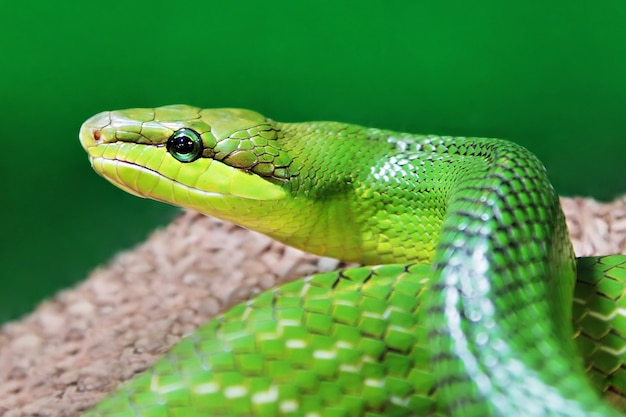 Зеленая змея