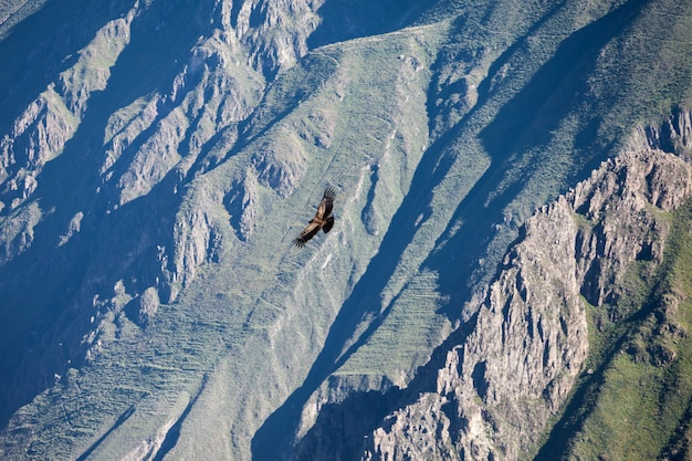 ペルーの山を飛んでいるコンドル
